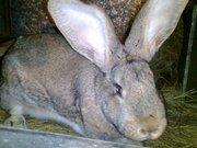 кролики породы французский баран и фландер