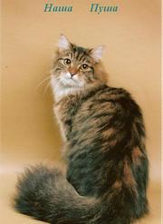 Котята от сибирской кошки Пуши