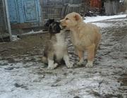 Чистокровные щенки Алабай (САО)