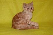 Продается котик страйт красный серебристый мраморный