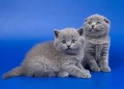 Продам Шотландских котят в хорошие ,  добрые руки